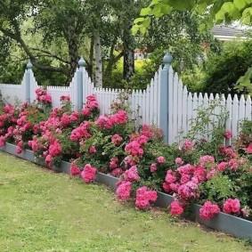 Кустовые розы вдоль деревянного забора