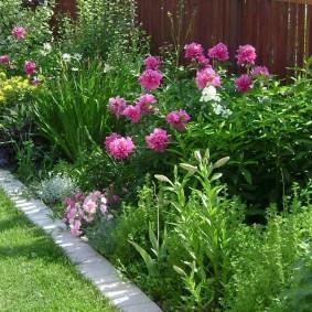 Куст травянистого пиона с розовыми бутонами