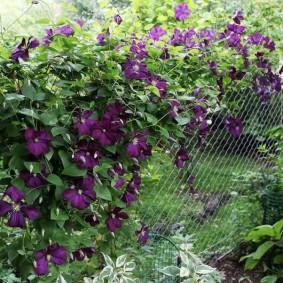 Клематисы на садовом заборе из сетки рабицы