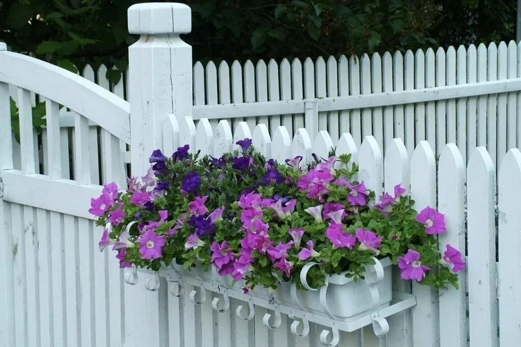 Петунии на белом заборе из штакетника