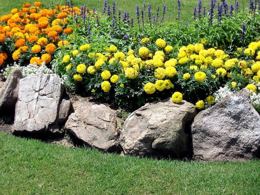 Крупные камни вокруг клумбы с бархатцами