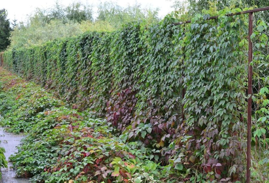 Украшение забора из сетки девичьим виноградом